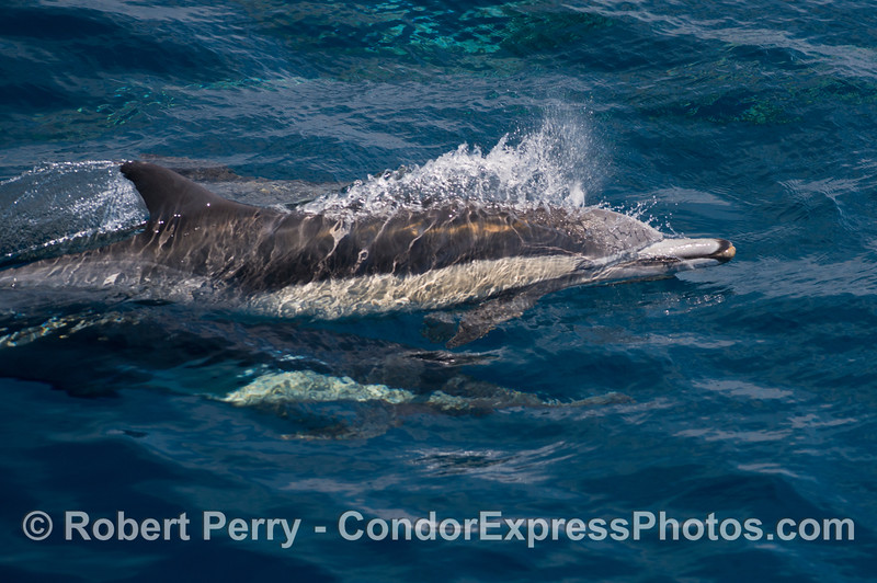 A bubble stream precedes taking a breath of air at the surface - common dolphin
