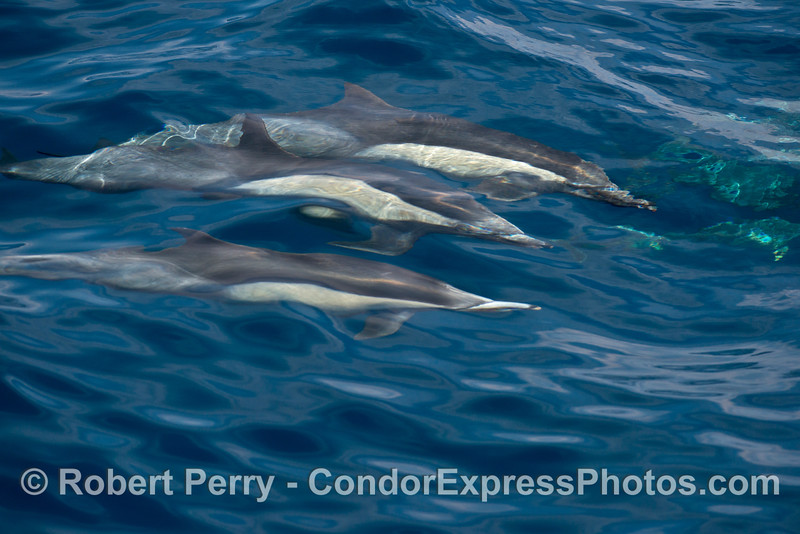 A trio of common dolphins glide beneath the waves