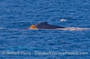 """Kelping:  a humpback whale """"plays"""" with a free drifting giant kelp paddy."""