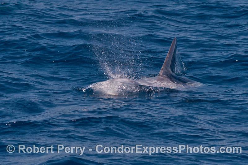 A Risso's dolphin spouts