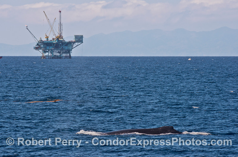 A humpback whale with an offshore oil platform and Santa Cruz Island in back