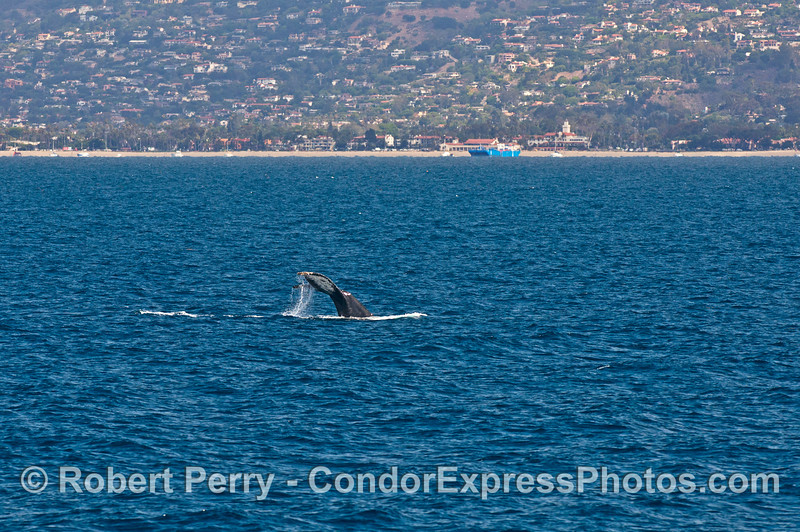 East Beach and Monticeto can be seen in the background as a humpback whale kicks up its tail flukes close to shore.