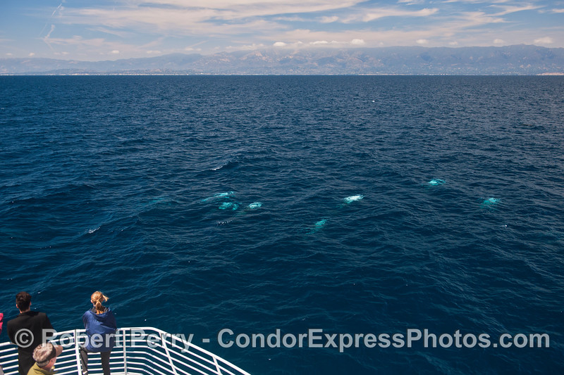 Risso's dolphins near the bow of the Condor Express