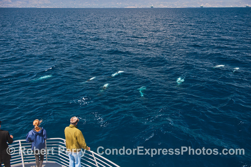 Part of a large pod of Risso's dolphins with their light gray bodies glowing in the clear water.