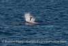 A shearwater soars close to the blast zone as a humpback whale spouts
