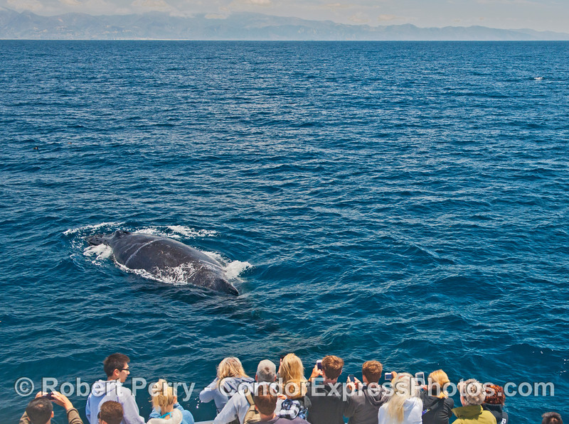 "Our friend ""Rope"" the humpback whale pays a close visit to her fan club - the circumferential scar from her decades old entanglement with a commercial fishing line is still visible"