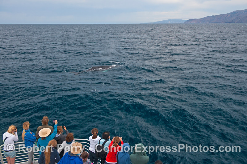 Humans, humpback whale and Santa Cruz Island - all in one