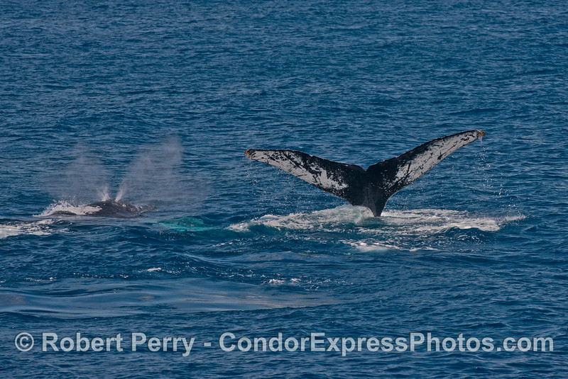 Two humpback whales, side by side - one spouting, one diving