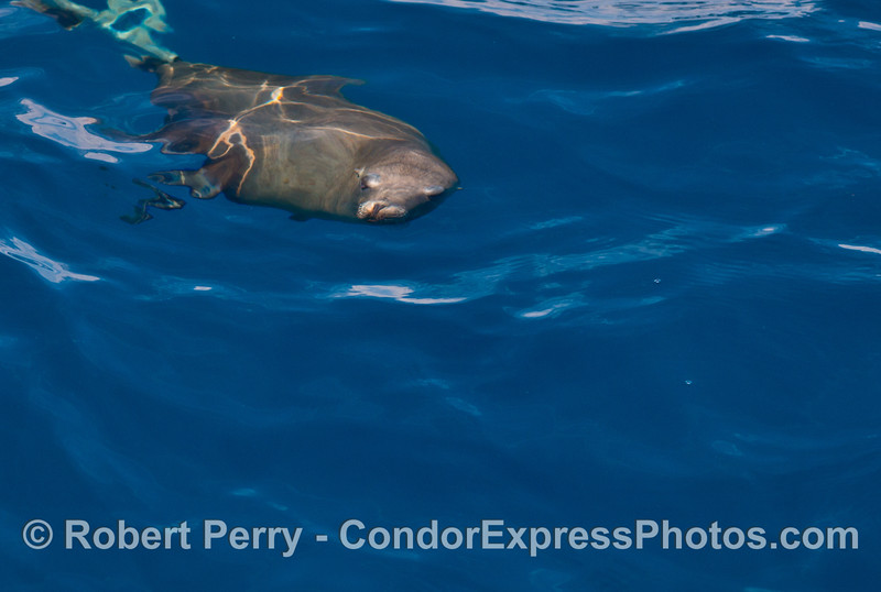 Image 1 of 2:  Under the rippled surface - a California sea lion