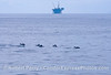 A small pod of common dolphins with an offshore oil platform in back
