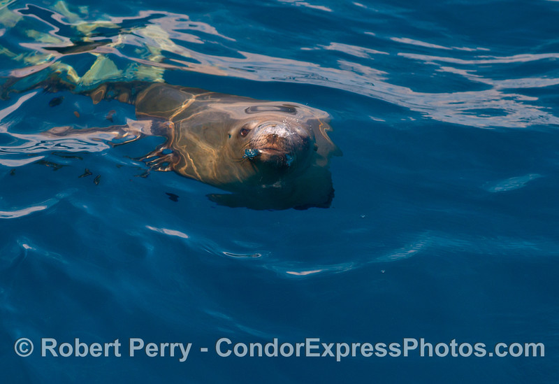 Image 2 of 2:  Under the rippled surface - a California sea lion gives us some face time