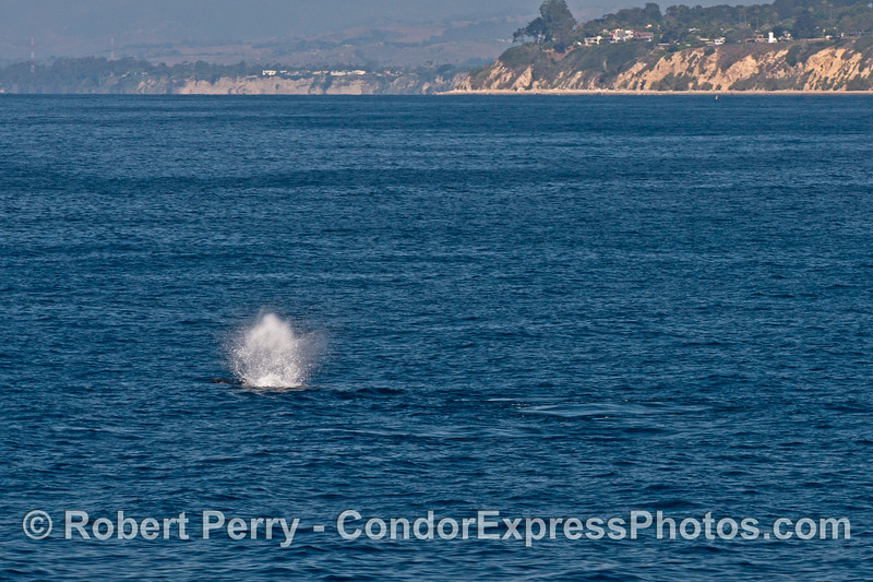 A blast from a humpback whale very close to the Santa Barbara coast.  The former light tower can be seen on the bluff