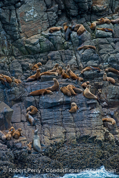 Agile California sea lions scale the shear seacliffs of Santa Cruz Island to find a safe refuge to relax in the sun