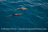 Common dolphins underwater