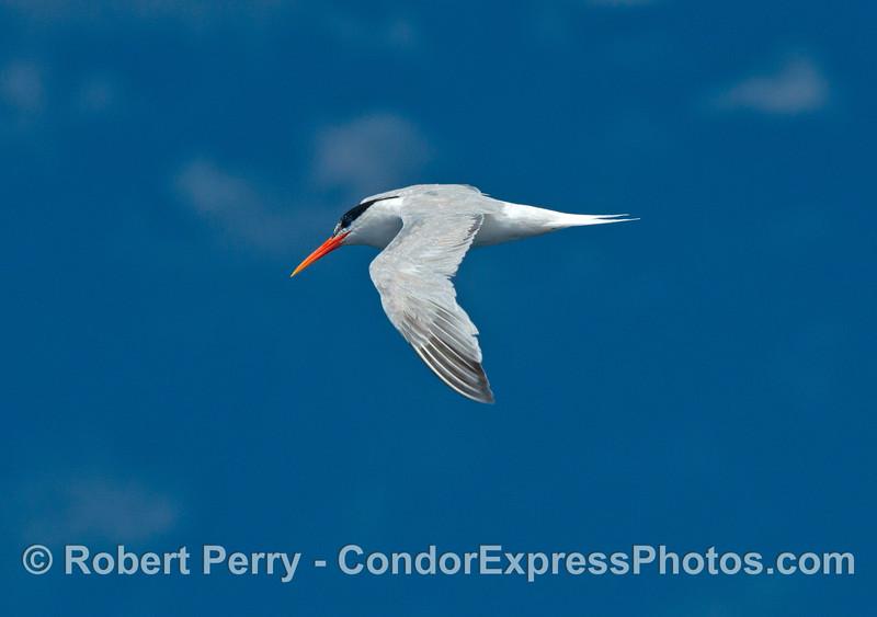 Elegant tern - looking elegant in the blue sky