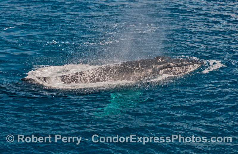 A very close pass by a friendly humpback whale with white pects (pectoral fins)