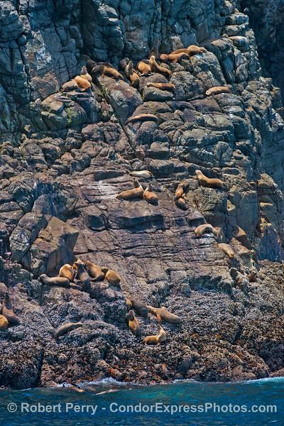 California sea lions climb high and dry on the steep seacliffs of Santa Cruz Island