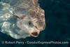 Sunfish (Mola mola) head and open mouth
