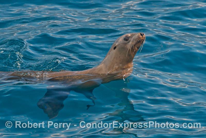 Profile of a California sea lion in clear blue water