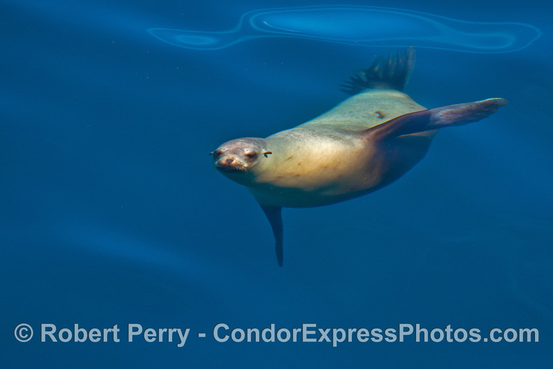 Image 3 of 3:  A young California sea lion is seen underwater.