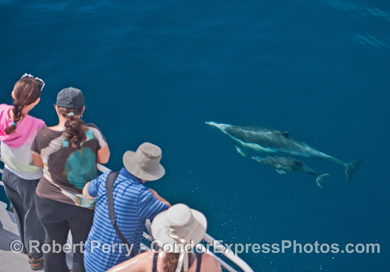 A common dolphin mother and her calf visit the humans