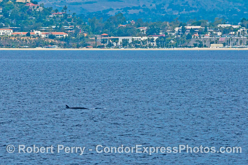 Minke whale and Santa Barbara City College in back