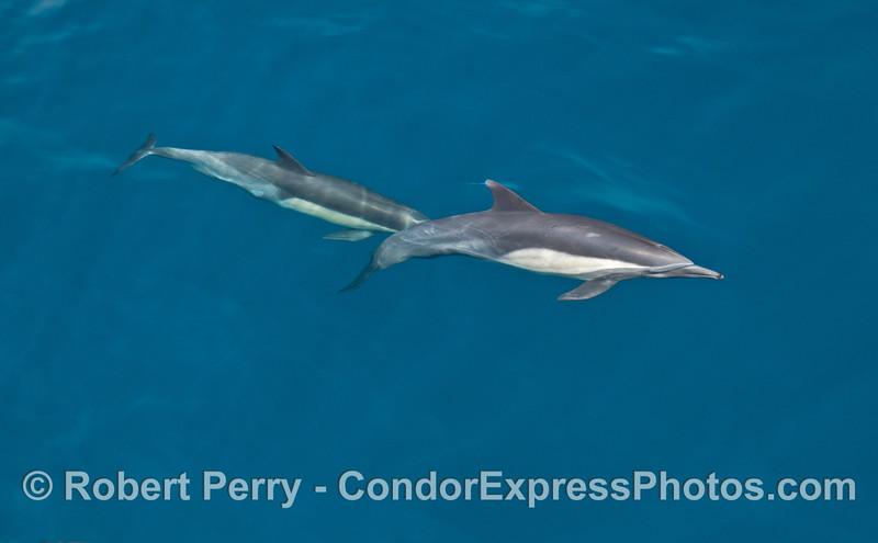 Common dolphins underwater