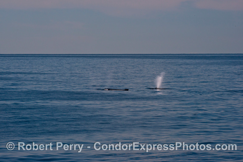 Two spouting humpback whales