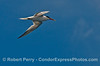 An elegan tern flys across the deep blue sky.