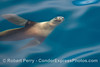 Image 1 of 3:  A young California sea lion is seen underwater.