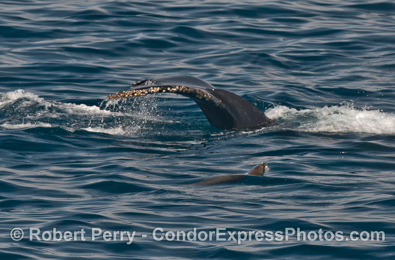 A friendly California sea lion and a humpback whale's tail