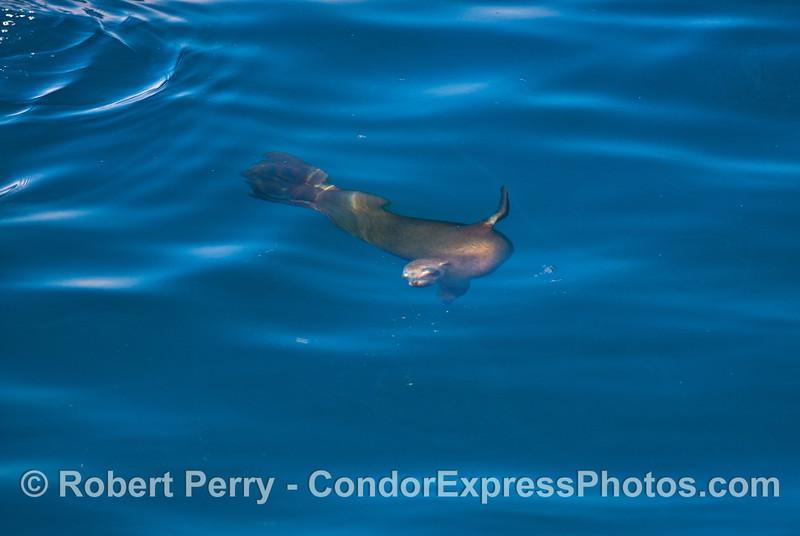 A friendly California sea lion underwater