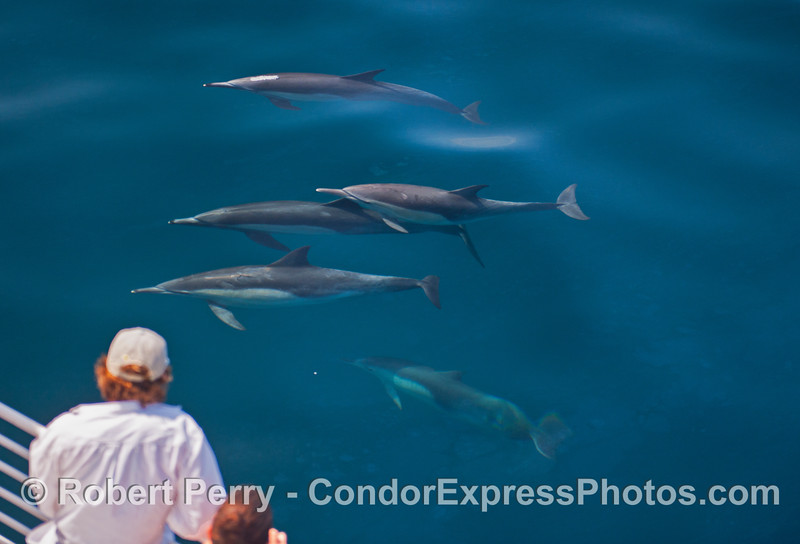 Clear water and a pod of friendly common dolphins make for a great view.