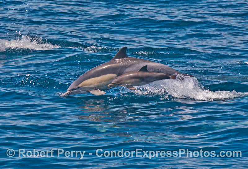 Mother common dolphin and her calf leap together across the blue water