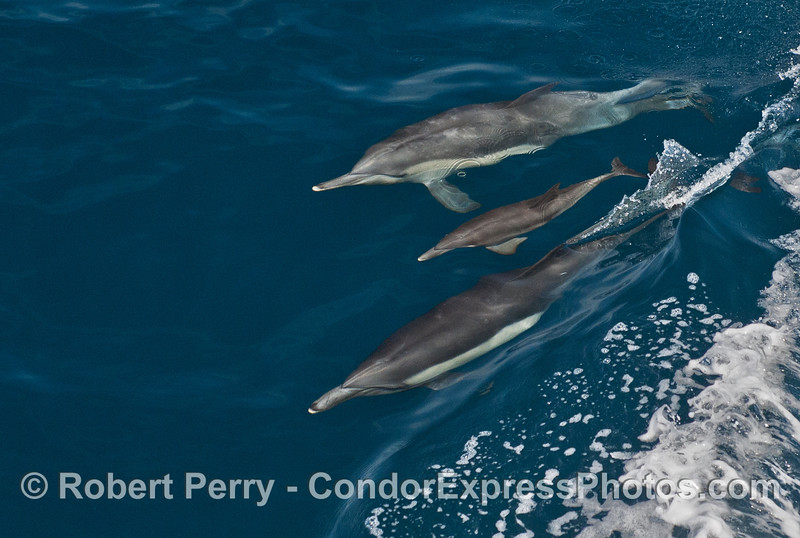 A common dolphin calf is shown swimming between two adults