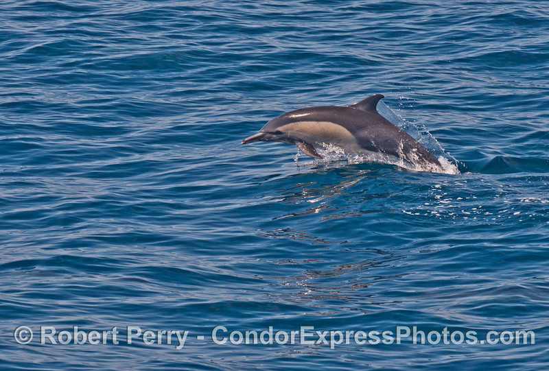 A leaping common dolphin