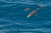 A clear blue wave reveals a mother common dolphin with her tiny calf