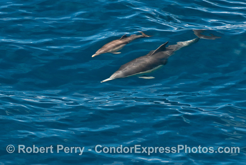 Mother common dolphin surfs a small wave with her little calf