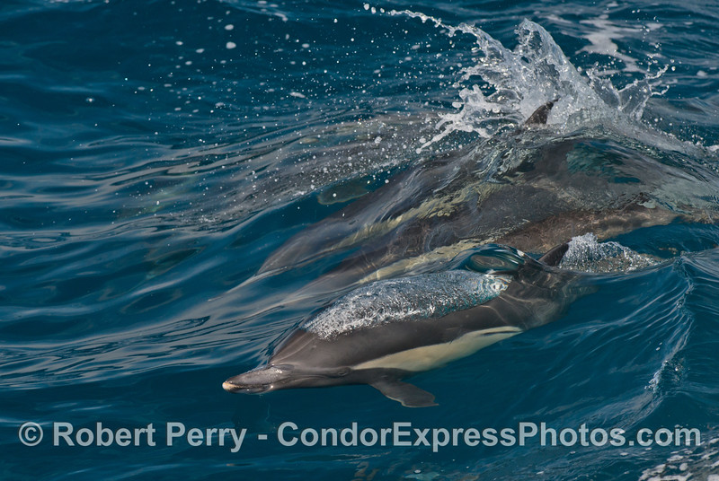 A common dolphin emits a bubble stream as it rises to the surface to breathe