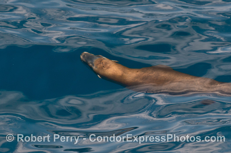 Ripples on a glassy ocean surface reveal a California sea lion swimming in the blue waters below