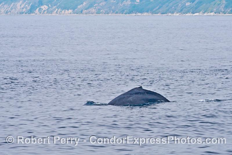 A humpback whale with the Santa Barbara coastline in back