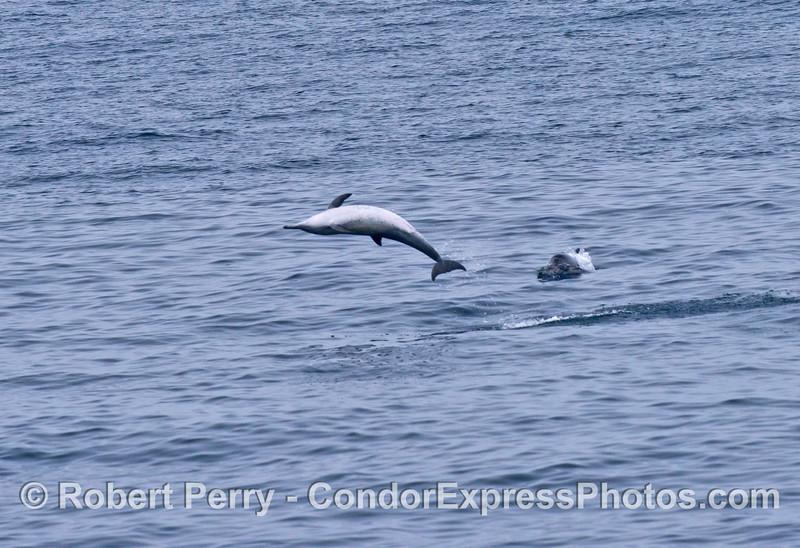 A crazy common dolphin