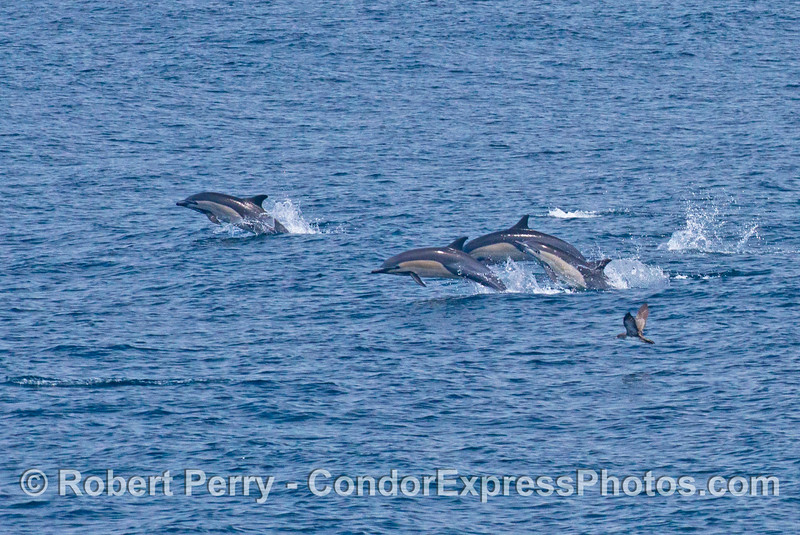 Fast moving and leaping common dolphins