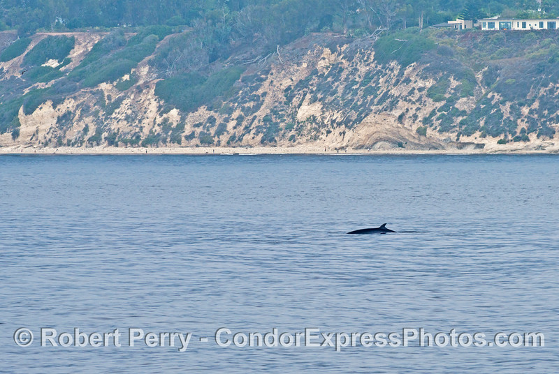 A Minke whale is photographed very close to the Santa Barbara coast