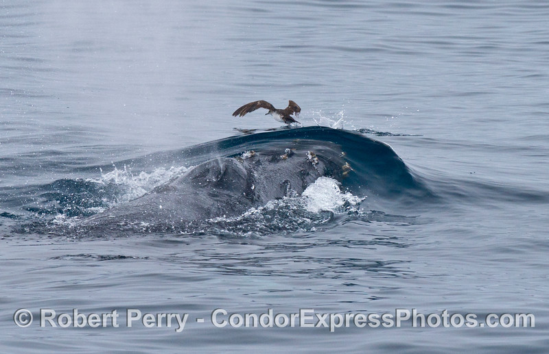 A humpback whale rises up and sends a black-vented shearwater running across the water