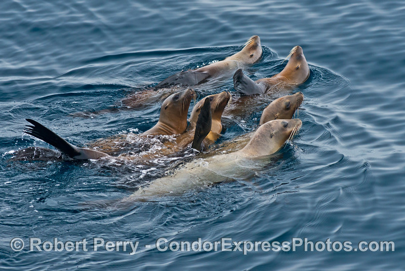 Six California sea lions form a tight pack of juvenile delinquents