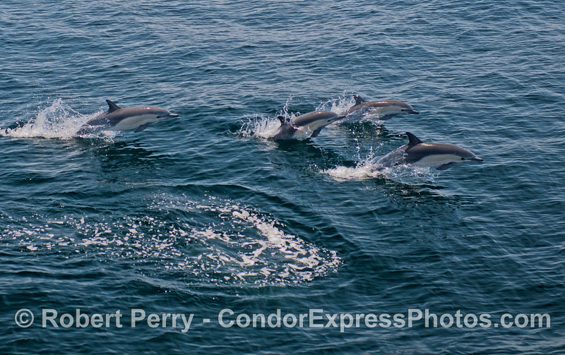 Four leaping dolphins