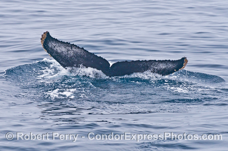 """Underside of """"Top Notch"""" the humpback whale's tail flukes"""