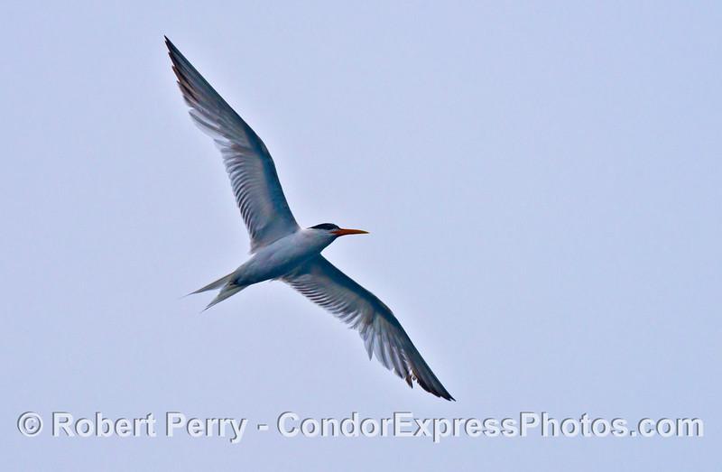 A tern looking elegant (Sterna elegans)