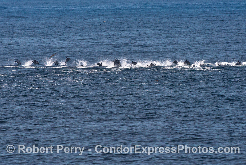 "A ""stampede"" of fast moving common dolphins all in a line and leaving plenty of smoke"